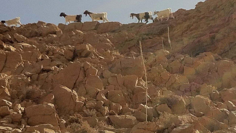 עדר עיזים מעל מצוק רחף צילום-ספי הנגבי