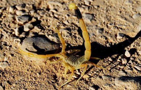 """בעקבות החום הכבד- פעוטות נעקצו ע""""י עקרבים צהובים"""