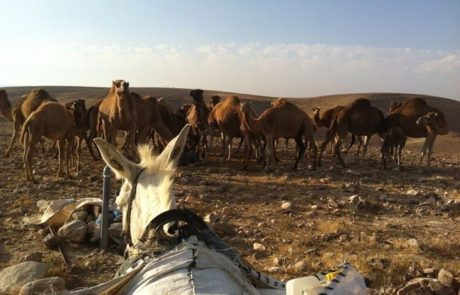 זמן מדבר-בית של רוח ותרבות בערד- טיולי גמלים