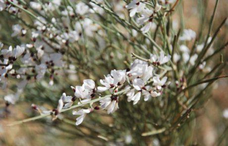 ריח פריחה, צליל אהבה, אחיזת עיניים- טיול לפריחת האביב בנגב המזרחי