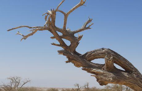 שיטה בערבה- חוקרי הארץ התגייסו למען עצי השיטים