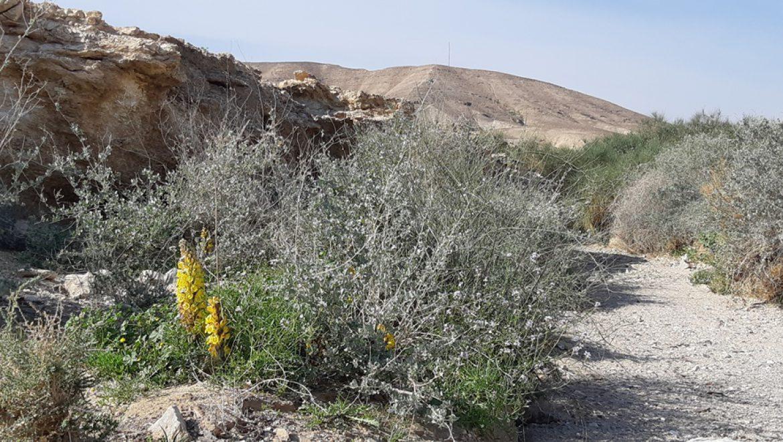 יחנוק המדבר ורותם המדבר בירידות לים המלח צילום-ענת רסקין