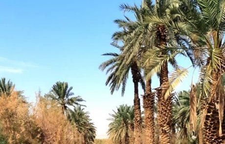 עין ערוס- סיפורם של ראשוני עצי התמר בארץ ישראל