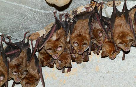 שנת החורף של העטלפים החלה, רשות הטבע והגנים תסגור את מערות הלינה שלהם