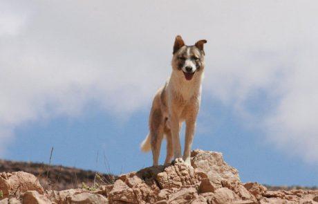 זהירות! כלבי רועים באזור ערד- האומנם?