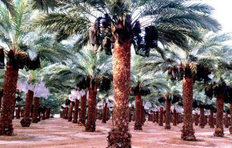 יבול התמר ממטעי הערבה- מחקרים וזני תמרים
