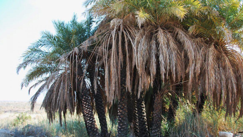 מקבץ עצי התמר המצלים על מעין פלוטית בכיכר סדום צילום-ענת רסקין