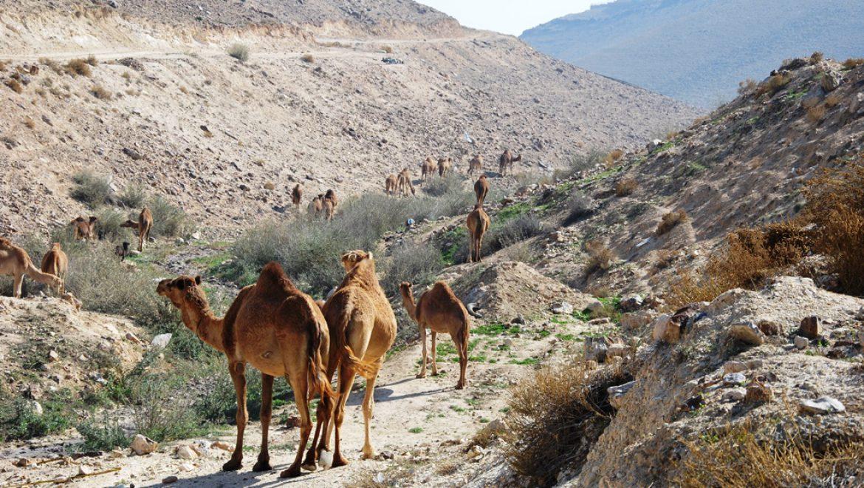 גמלים בנחל טביה צילום-ענת רסקין