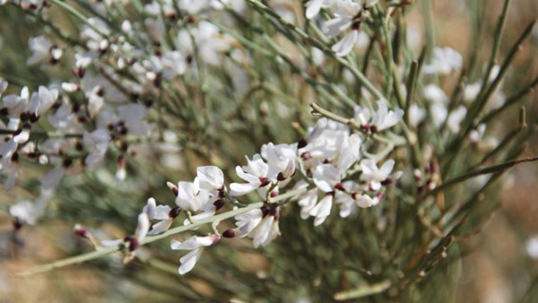 פריחת רותם המדבר הריחנית צילום-ענת רסקין