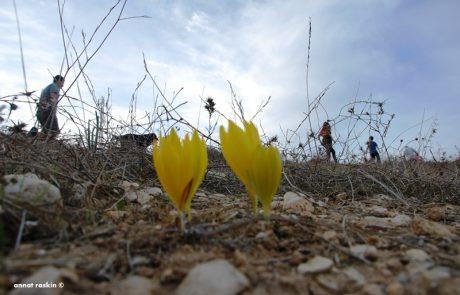 ששת המסלולים המומלצים שלנו- אל הפריחה הצהובה של החלמוניות בנגב המזרחי