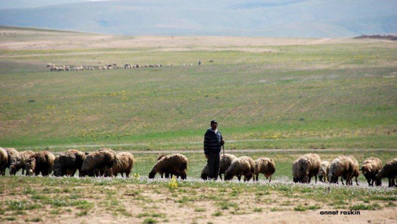 עדרי צאן יוצאים לראות בשדות האביב צילום-ענת רסקין
