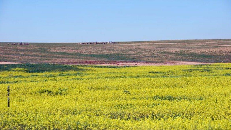 פריחת החרדל הצהובה צילום-ענת רסקין