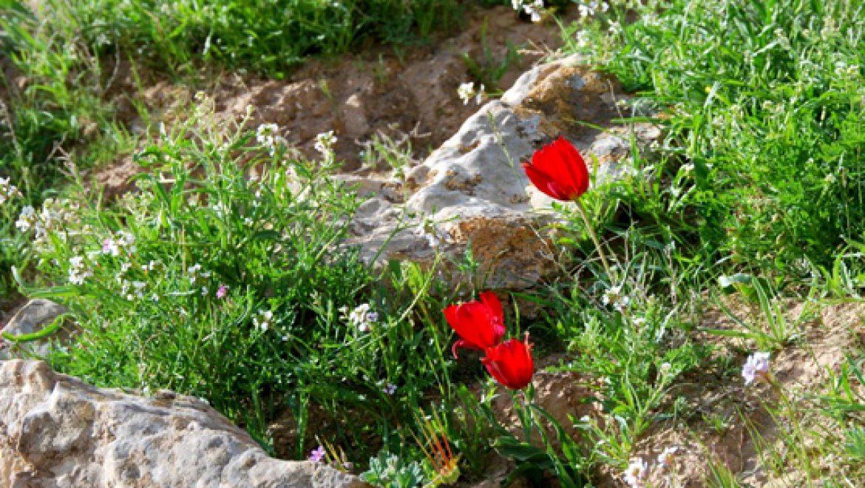 פריחת צבעוני ההרים בנחל סלעים צילום-ענת רסקין