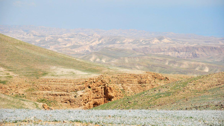 פריחת החרדל בגבעות המזרחיות של ערד צילום-ענת רסקין
