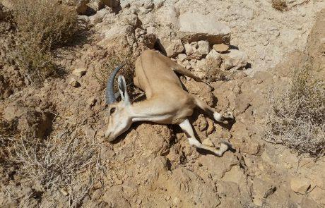 פגרים של יעל, שועל, לטאות וציפורים קטנות נמצאו בנחל אשלים