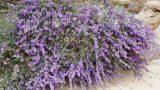 Leucophyllum-'Eden'-Gilat-j