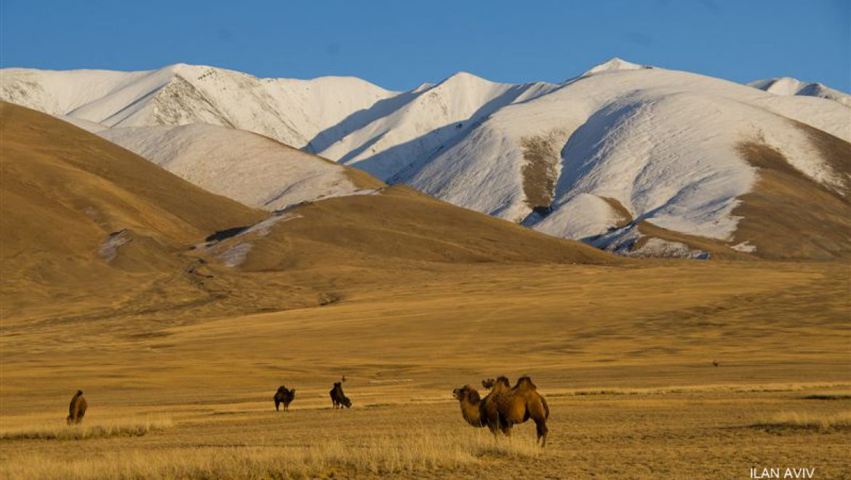 גמלים דו-דבשתיים בערבות מונגוליה צילום-אילן אביב